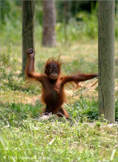 Gut gemocht Kaléidoscope Photos - Galerie faune - Bébé orang-outan au zoo de  HW23